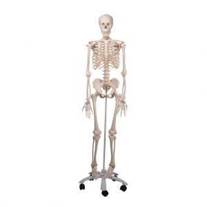 A-10 - Human Skeleton