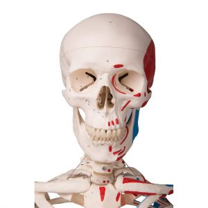 A-11 - Human Skeleton