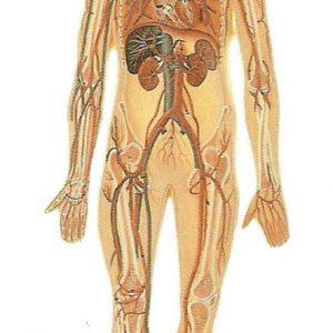 HS-10 - Circulatory System