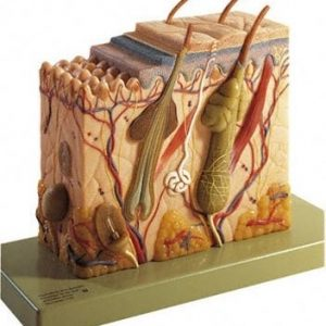 KS 4 - BLOCK MODEL SECTION OF SKIN