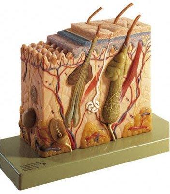 Anatomy of Skin and Hair