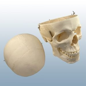 QS-7 - Artificial Adult Skull