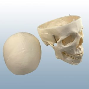 QS-7/E - Artificial Adult Skull