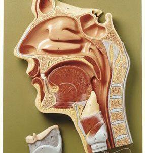 Nose & Larynx
