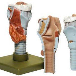 GS-3 - Larynx