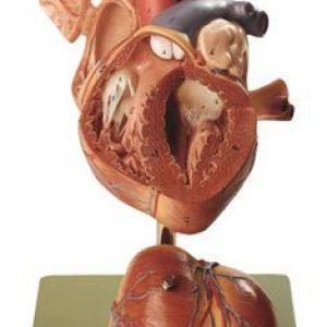 HS-5 - Heart