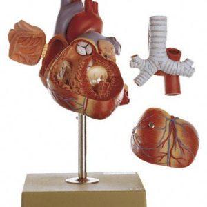 HS-6 - Heart