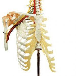QS-65/5 - Cervical Vertebral Column w/ Shoulder Girdle