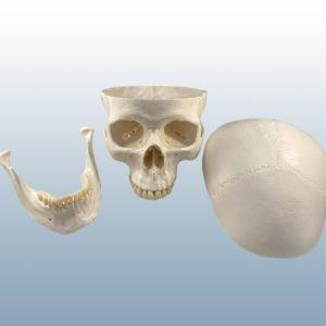 A-20 - Adult Skull