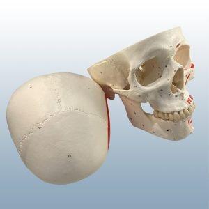 A-23 - Adult Skull