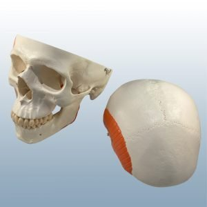 A-24 - Adult Skull w/ Muscles