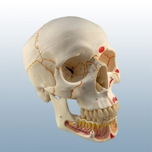 A-22/1 - Adult Skull w/ Origins & Insertions
