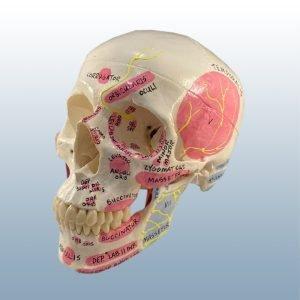 DD1 - TMJ Adult Skull