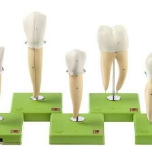 ES-11 - Set of Enlarged Tooth Models (Split)
