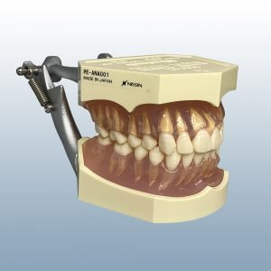 I21D-400G - 28 tooth Anatomy Model