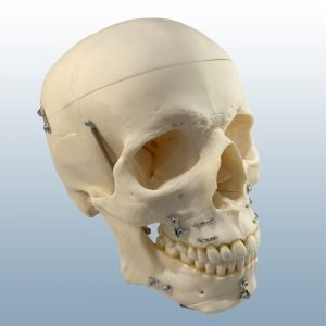 QS-7/E OST - Artificial Osteo Split Skull