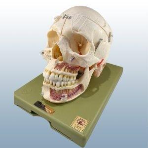 QS-8/11 - Artificial Human Skull (Exploding)