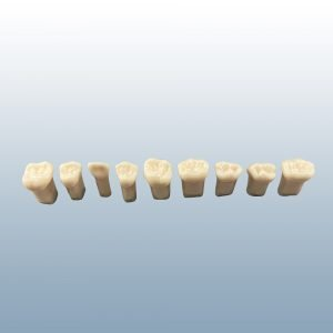 A12-920 - Pediatric Teeth with Pulp