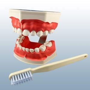 P3B-703 - Pediatric Tooth Brushing Model