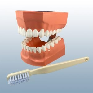 P3B-705 - Adult Tooth Brushing Model