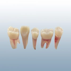 B22X - Naturally Rooted, X-Ray Capable Endodontic Teeth