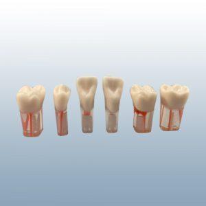 S12-200 - Clear Root Endodontic Teeth