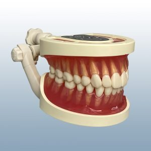 ANA3009 - 32 Tooth Anatomy Model