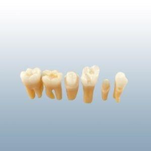 TR56 Series Prepared Teeth